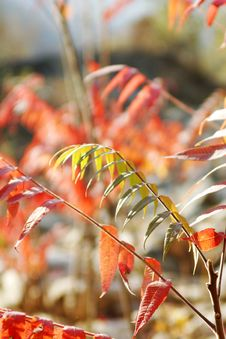 Free Red Leaf Stock Photography - 4378422