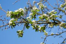 Free Flowering Time. Royalty Free Stock Photography - 4379077
