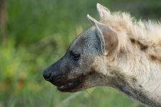 Free Hyena Side Profile Stock Image - 4379211