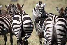 Free Zebra (Kenya) Stock Photos - 4379533