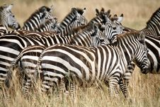 Free Zebra (Kenya) Stock Photography - 4379672