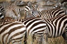 Free Zebra (Kenya) Stock Photography - 4379742