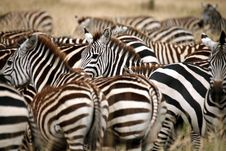 Free Zebra (Kenya) Stock Photos - 4379913