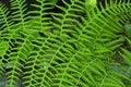 Free Green Fern Royalty Free Stock Photos - 4387048
