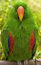 Free Eclectus Parrot - Male Stock Image - 4389041