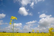 Free Yellow Rape Flower And Clouds Stock Images - 4380294