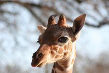 Young Giraffe Royalty Free Stock Photo