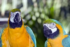 Free Parrots Royalty Free Stock Photo - 4381275