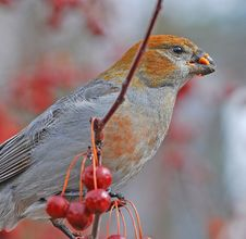 Free Pine Grosbeaks Royalty Free Stock Photography - 4381537