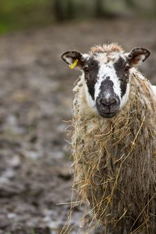 Free Forlorn Looking Sheep Stock Photos - 4381583