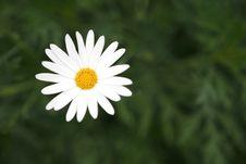 Free Daisy Stock Photography - 4382452
