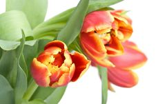 Free Red Tulips Stock Photos - 4382533