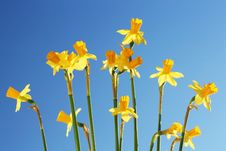 Free Daffodils Against The Blue Sky Stock Images - 4384354