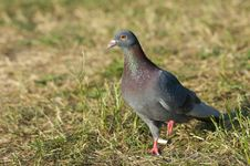 Free Turtle-dove Royalty Free Stock Image - 4384846