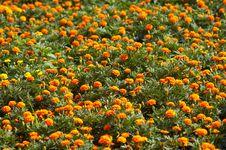 Free Orange Flowers Royalty Free Stock Images - 4384849