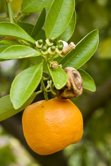 Free Citrus Plant Royalty Free Stock Photography - 4385087