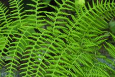 Free Green Fern Royalty Free Stock Photos - 4387048