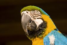 Free Blue And Gold Macaw Royalty Free Stock Photo - 4388865