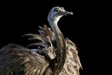 Free Ostrich Isolated On Black Background Stock Photography - 4389172