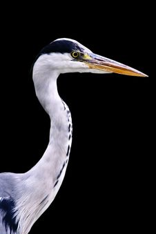 Free Young Heron Close Up View Stock Photo - 4389180