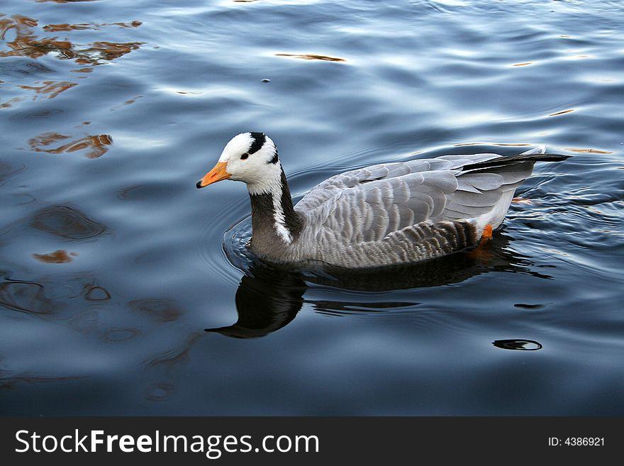 Mandarin duck swim in lake