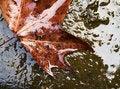 Free Wet Maple Leaf Stock Photo - 4392390