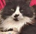 Free Bobcat Cools New Portrait Royalty Free Stock Photo - 4396645
