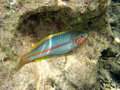 Free Female Moon Wrasse Stock Images - 4398604