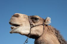 Free Laughing Camel Stock Images - 4390044