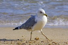 Free Seagull At The Beach In Portugal Royalty Free Stock Photography - 4390897