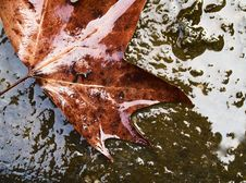 Free Wet Maple Leaf Stock Photo - 4392390