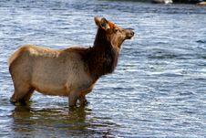 Free Elk River Royalty Free Stock Image - 4392706