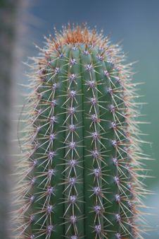 Free Desert Cactus Royalty Free Stock Image - 4392806