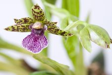 Free Orchid Royalty Free Stock Photos - 4394848