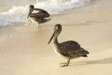 Pelicans At The Beach Stock Image