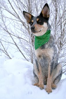 Heeler Pup 36 Royalty Free Stock Photo