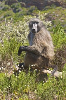Free Chacma Baboon Sitting In Fynbos Stock Photography - 4396472