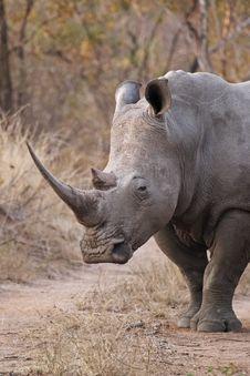 Free White Rhinocerous 2 Stock Photo - 4396850