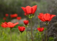 Free Red Poppies Royalty Free Stock Images - 4396969