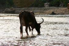Free Cow Royalty Free Stock Photo - 4397165