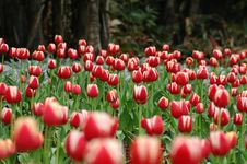 Free Red&White Tulip-4 Royalty Free Stock Photography - 4397197