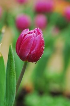 Free A Purple Tulip With Dew Royalty Free Stock Image - 4397296