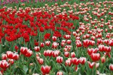 Colorful Tulip-4 Stock Photos