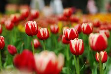 Free Red&White Tulip-7 Royalty Free Stock Image - 4397306
