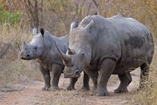 Free White Rhinocerous With Calf Royalty Free Stock Images - 4397389