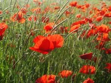 Free Sunny Poppies Field Royalty Free Stock Photo - 4397685
