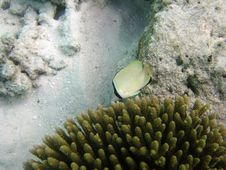Free Speckled Butterflyfish Stock Images - 4397994