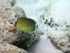 Free Peppered Butterflyfish Royalty Free Stock Photos - 4398018