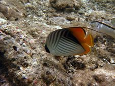 Free Threadfin Butterflyfish Royalty Free Stock Image - 4398286