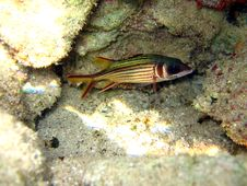 Sammara Squirrelfish Stock Photography